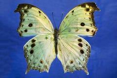 一只美丽的有启发性真珠色的蝴蝶的宏观照片 免版税库存图片