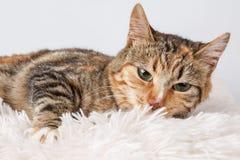 一只美丽的杂色猫的接近的画象 库存图片