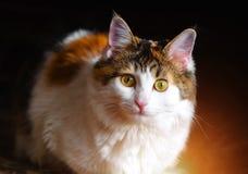 一只美丽的杂色猫的画象与大黄色眼睛的 免版税库存图片