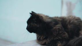 一只美丽的杂色的猫的特写镜头 猫打呵欠 股票录像