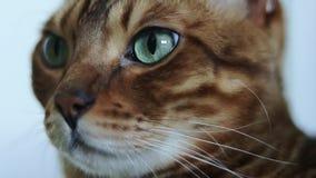 一只美丽的棕色纯血统孟加拉猫的特写镜头画象与嫉妒的 影视素材