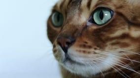 一只美丽的棕色纯血统孟加拉猫的特写镜头画象与嫉妒的 股票录像