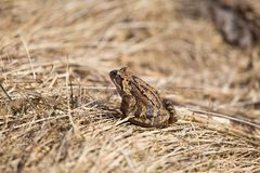 一只美丽的棕色青蛙坐地面,有很多干前棵几年叶子和草 早春天风景 生活新的春天 库存图片