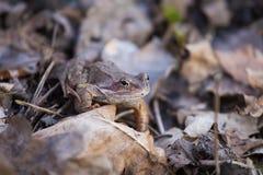 一只美丽的棕色青蛙坐地面,有很多干前棵几年叶子和草 早春天风景 生活新的春天 免版税图库摄影