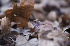 一只美丽的棕色青蛙坐地面,有很多干前棵几年叶子和草 早春天风景 生活新的春天 免版税库存照片