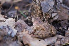 一只美丽的棕色青蛙坐地面,有很多干前棵几年叶子和草 早春天风景 生活新的春天 图库摄影