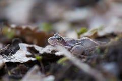 一只美丽的棕色青蛙坐地面,有很多干前棵几年叶子和草 早春天风景 生活新的春天 库存照片