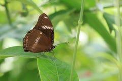 一只美丽的棕色蝴蝶 免版税库存图片