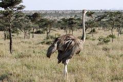 一只美丽的母驼鸟在浩大的草原 库存照片