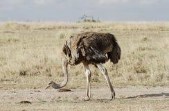 一只美丽的母驼鸟,马塞语玛拉,肯尼亚 免版税库存图片