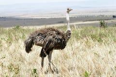 一只美丽的母驼鸟,马塞语玛拉,肯尼亚 免版税库存照片