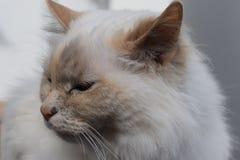 一只美丽的波斯猫的特写镜头与浅兰的眼睛的 库存照片