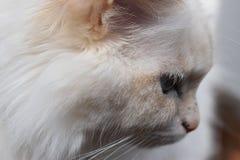 一只美丽的波斯猫的特写镜头与浅兰的眼睛的 免版税库存照片