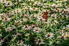 一只美丽的海湾贝母或激情蝴蝶在白花海  免版税库存图片