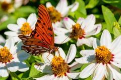 一只美丽的海湾贝母或激情蝴蝶的特写镜头在白花海  免版税库存照片