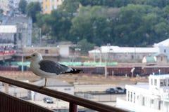 一只美丽的海鸥坐傲德萨海终端的铁路 免版税库存图片