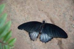 一只美丽的深蓝蝴蝶 免版税图库摄影