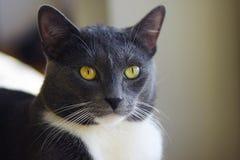 一只美丽的灰色猫的画象与黄色眼睛的 免版税库存照片