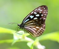 一只美丽的热带蝴蝶的照片 图库摄影