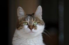 一只美丽的猫的照片,猫照片 免版税库存照片