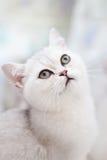 一只美丽的猫的纵向。 免版税库存照片