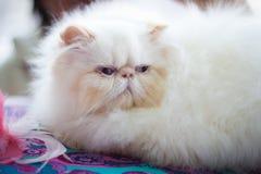 一只美丽的猫的纵向。 库存照片