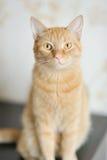 一只美丽的猫的纵向 库存图片