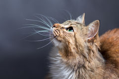 一只美丽的猫的纵向 免版税库存图片
