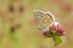 一只美丽的男性共同的蓝色蝴蝶Polyommatus艾卡罗计在花栖息 免版税库存照片
