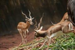 一只美丽的男性飞羚公羊的行动 库存图片