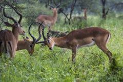 一只美丽的男性飞羚公羊的画象 Tarangire国民同水准 免版税库存照片