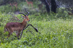 一只美丽的男性飞羚公羊的画象 Tarangire国民同水准 免版税图库摄影