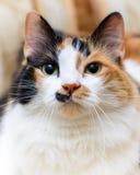 一只美丽的白色和红色猫的大画象 库存照片
