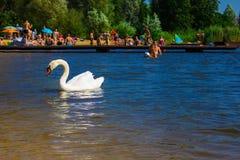 一只美丽的白色天鹅在海滩的一个湖 背景 免版税图库摄影