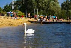一只美丽的白色天鹅在海滩的一个湖 背景 图库摄影