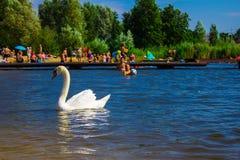 一只美丽的白色天鹅在海滩的一个湖 背景 免版税库存照片
