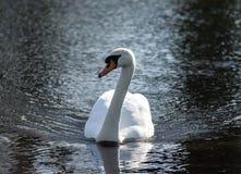 一只美丽的白色天鹅通过黑暗,黑水游泳 库存图片