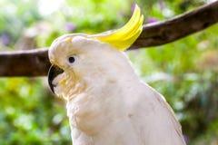 一只美丽的白色美冠鹦鹉鸟 库存图片