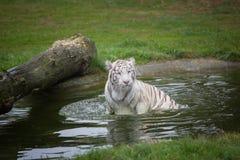 一只美丽的白色老虎在水中 免版税库存照片