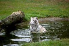 一只美丽的白色老虎在水中 免版税库存图片