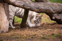 一只美丽的白色老虎在自然 图库摄影