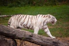 一只美丽的白色老虎在自然 库存图片