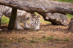 一只美丽的白色老虎在自然 库存照片