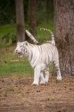 一只美丽的白色老虎在自然 免版税库存照片