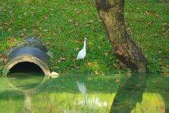 一只美丽的白色苍鹭鸟,搜寻食物在一个反射性池塘附近在一个大泰国庭院公园 免版税库存照片
