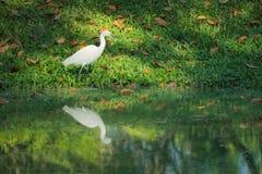 一只美丽的白色苍鹭鸟,搜寻食物在一个反射性池塘附近在一个大泰国庭院公园 库存照片
