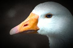 一只美丽的白色鹅的数字式水彩与一双明亮的橙色额嘴和蓝眼睛的 向量例证
