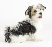 小长发混杂的狗、16个星期,马尔他和约克夏狗 图库摄影