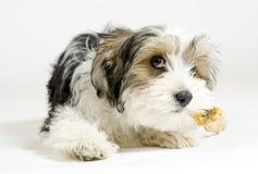 小长发混杂的狗、16个星期,马尔他和约克夏狗 免版税库存图片