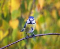 一只美丽的矮小的蓝冠山雀的画象坐分支阿门 图库摄影
